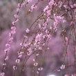 梅の花(いなべ農業公園Ⅲ)