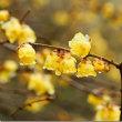 開花と同時に 、貴重な甘い香り!……天下茶屋から花便り!