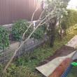 ハナズボウの木が倒れた台風21号