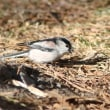 エナガ, Long-tailed Tit