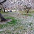 桜と夕陽とワンコ