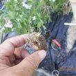 サトイモ1個発見 植えました