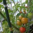 ミニトマトと夏祭り