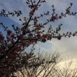 弥生街角、三月の桜