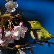 Vol.2045  早咲きの桜「日南寒咲1号」が見ごろになってきました。  (Photo No.14234)