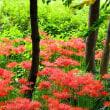 樹林に群生する彼岸花
