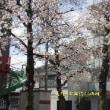 近所の公園・桜満開  平成30年3月24日(土)