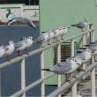 竹ヶ端運動公園辺りの芦田川河口に群がるカモメたち
