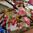 ◆ ジンダイ アケボノ ザクラ が咲き始めました