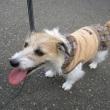 LiccoLa犬服、ありがとう!