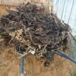 ベビーキャロットが発芽 腐葉土作り