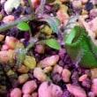 セファロタスの脇芽が大きくなってきた! 食虫植物58