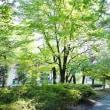 久々の日差し(赤塚公園の木々とウバユリの実)