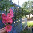 ふわん*と咲くの。半日陰だから。