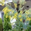 我が家のアカシアの花が咲いたよ☺️