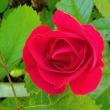ばら園に劣らぬ数少ない我が家のバラと昨年伐採したのに葉が出ている桜。