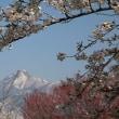 4/21(土)その2 観音寺の桜並木