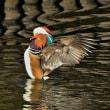 今日の野鳥   オシドリ ・ ルリビタキ