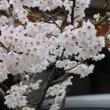 がいせん桜・・・