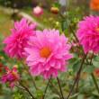 神秘的なダリアの花