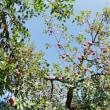 リンゴの木3
