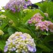 鮮やかに咲く梅雨の紫陽花