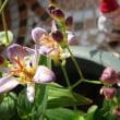 ひたむきに咲くホトトギス