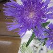 紫色のストケシアという花