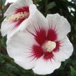 『季節の花』 ムクゲ