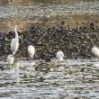 冬に咲いているホトケノザと中州でくつろぐ白鷲