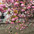 艶やかな八重桜☆手取り早く気持ちよくなる術