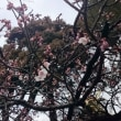 〈催事〉0532: 「開運桜」約30輪咲く