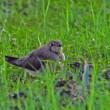 日曜日(8/20)鳥見 ツバメチドリ午後の部