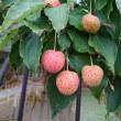 <木に苺が生ったのかな。。。>「ヤマボウシ 物まねおおい 山案山子」物まね川柳