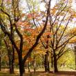 東京都東村山中央公園の2018年の晩秋・・黄葉