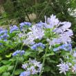 紫陽花 と アガパンサス