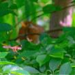 26/May  ガビチョウと昆虫とエナガとシモツケ