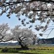 布目の夫婦桜