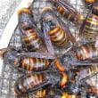 スズメバチ 営巣はじまる。