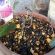 鉢植えの土替え