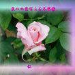 『 良心の砦守らる冬薔薇 』平和の砦575交心zsk1307