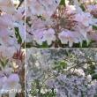 コルクヴィッチアアマビリス・ピンククラウドの花は