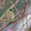 サンデッキ前のウツギの小枝のアオジの群れから