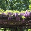 【舞鶴公園】藤の花満開の日に 着物体験できたよ!