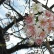 ヒマラヤザクラが咲いた