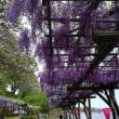 蓮華寺池公園の藤棚