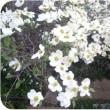◇【ハナミヅキ🌸】・・・・・・アメリカからの桜を送った返礼花 ⇔ 庭先で今が満開!