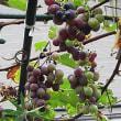 葡萄(ぶどう)という果実