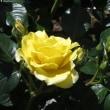 八十八夜 と 代々木公園の薔薇は?