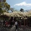 鶴岡八幡宮・ぼたん苑